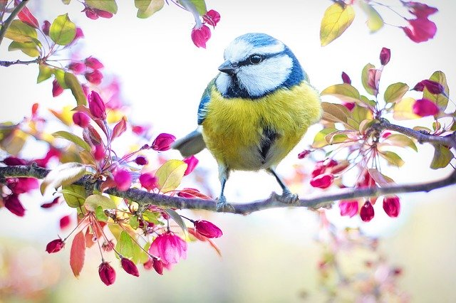 Blue Tit on brach covered in blossom